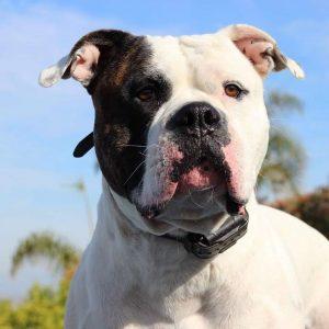 Rare Bulldog Breed Types, Facts & History