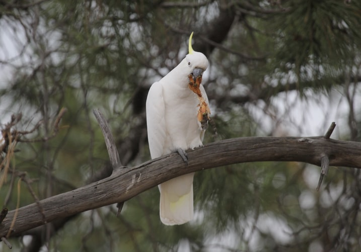 Top 21 Types of Cockatoos' Facts & History