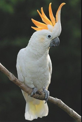 Sulphur Crested Cockatoo Pictures