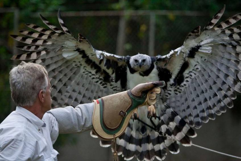 Big Wings Harpy Eagle's Facts, History & pictures