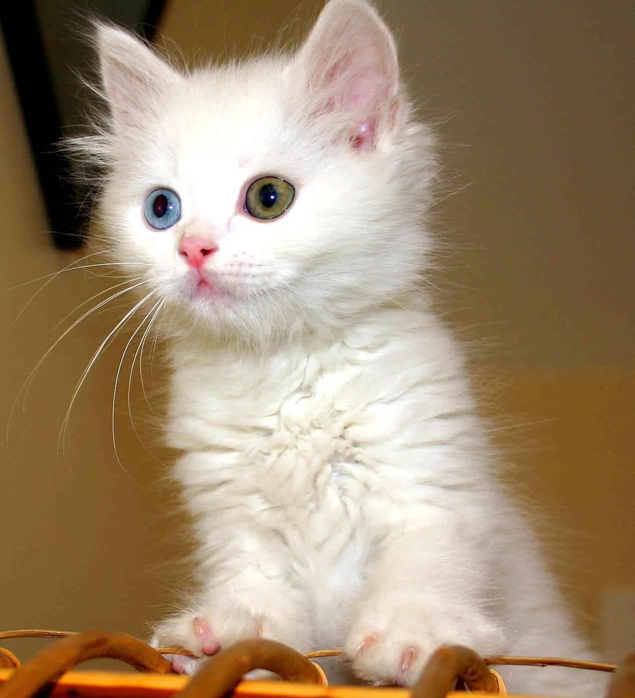 """Siamese Kitten"" for sale around me! Adoption Guidelines"