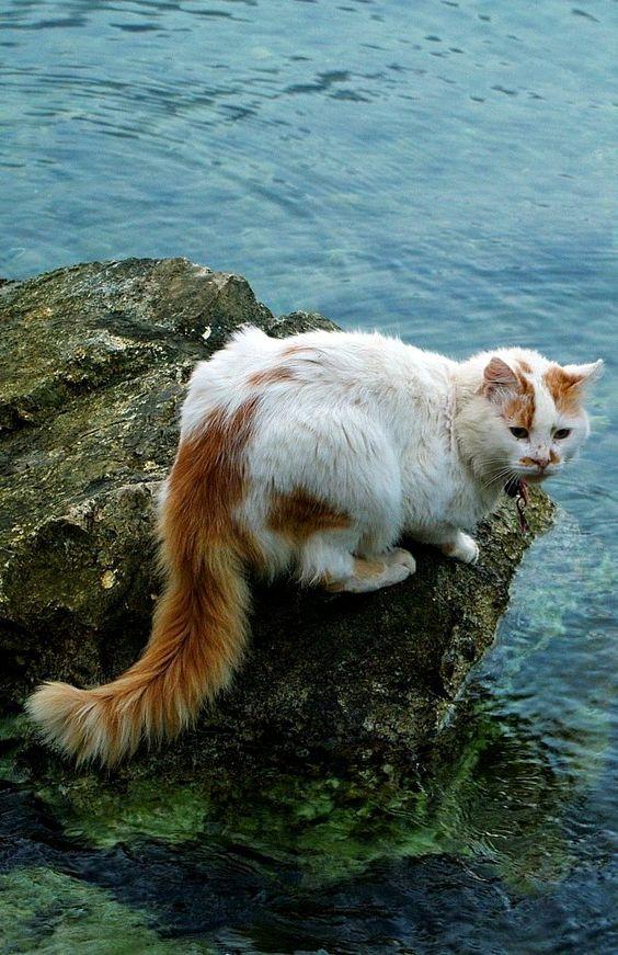 Rare Types of Turkish Van Cats & Kittens