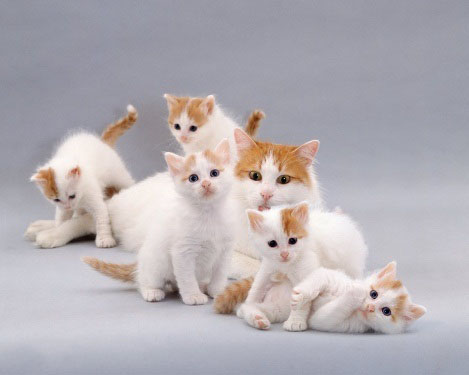 Rare Types of Turkish Van Cats & Kittens