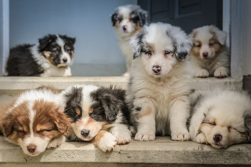 """Australian Shepherd/Aussie"" Dog Types you should know"