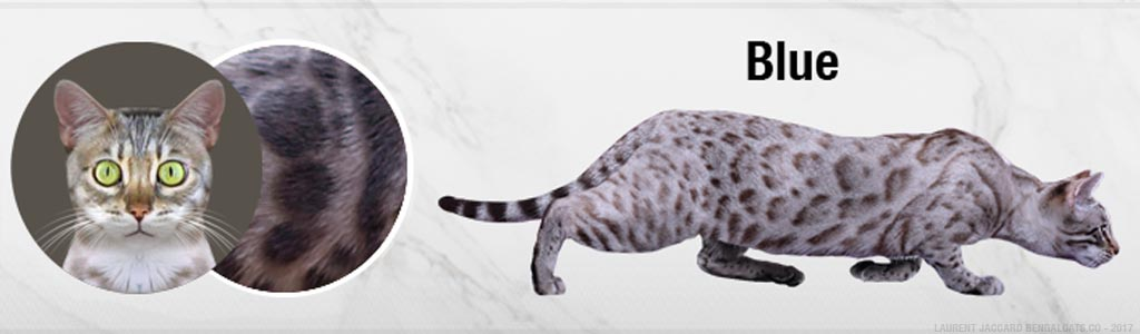 Facts of Bengal Cat, Coat Patterns and Colors