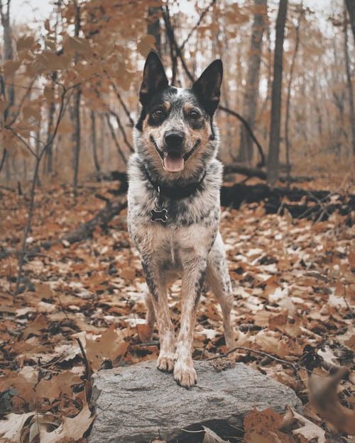 Blue Heeler Australian Shepherd Mix Puppies Pics & Facts