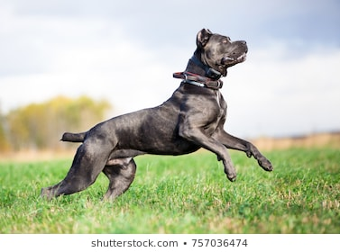 """Cane Corso Dog"" Breed's Facts, Care & Puppy"