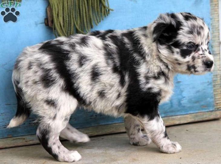 """""""Australian Shepherd/Aussie"""" Dog Types you should know"""