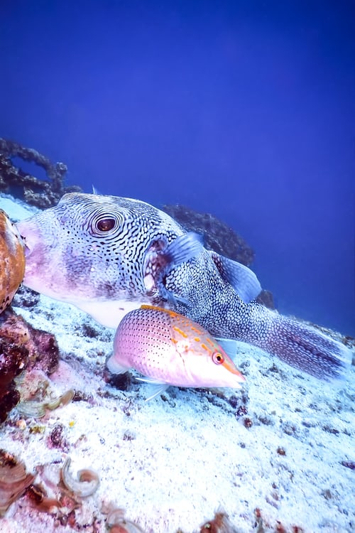 "Types of ""Puffer Fish"" & Photo Gallery"