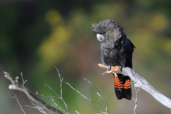 Glossy Black Cockatoo Facts, Pictures & Price