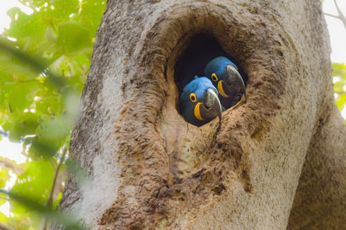 Hyacinth Macaw Parrot Facts, Care & Price