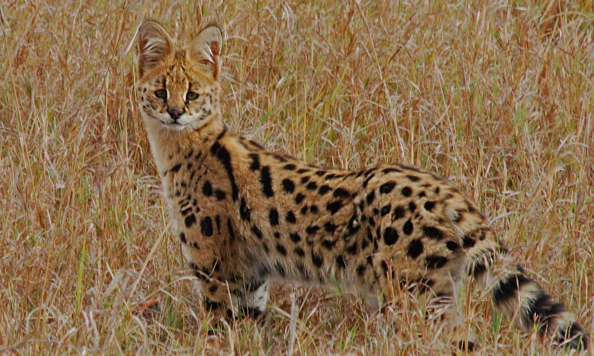 Savannah Cat Facts, Types & Care! You should know