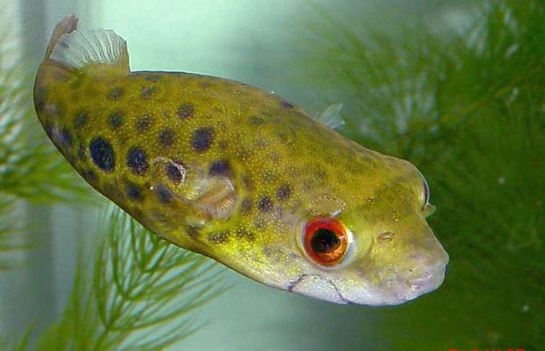 """Types of """"Puffer Fish"""" & Photo Gallery"""