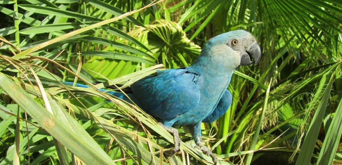 Spix's Macaw Facts & Photo Gallery