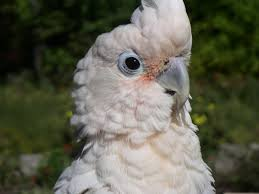 Solomons Cockatoo Facts, Care & Price