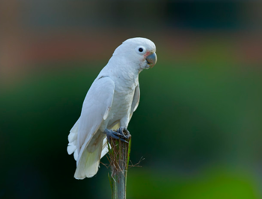 Salmon-crested Cockatoos' Fact & Images