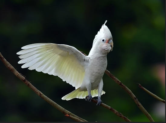 Goffin Cockatoos' Facts & Images!  You should know