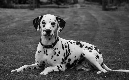 Dalmatian Dog Facts, Colors & Care! You should know