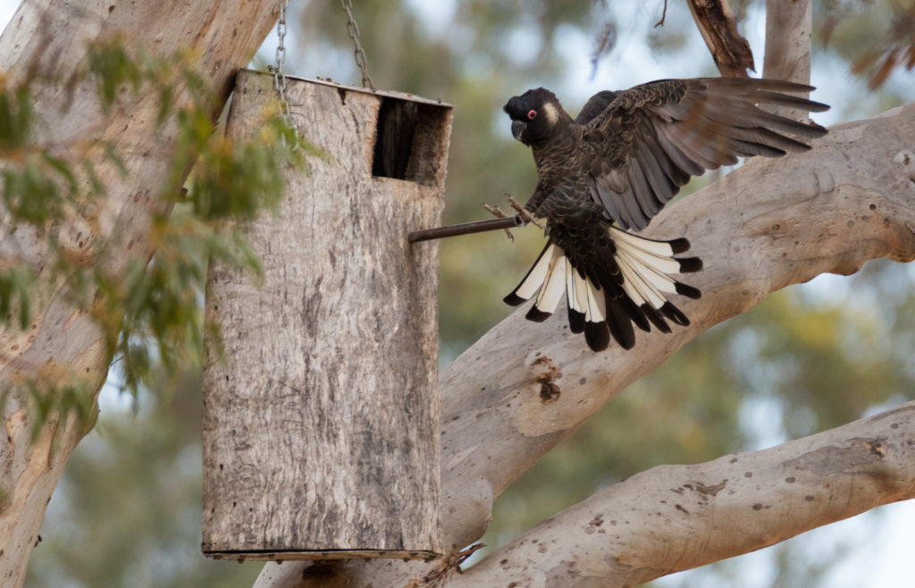 Baudin's Black Cockatoo History & Pictures