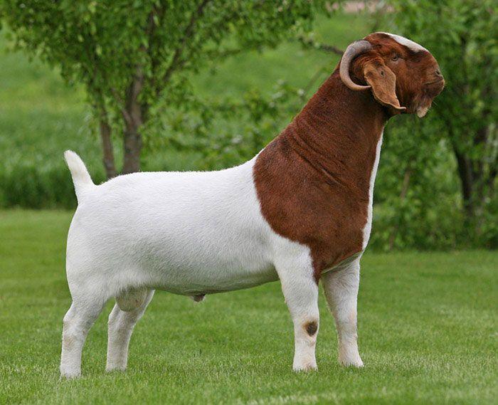 What is Boer Goat Price? & Boer Goat Farming Tips