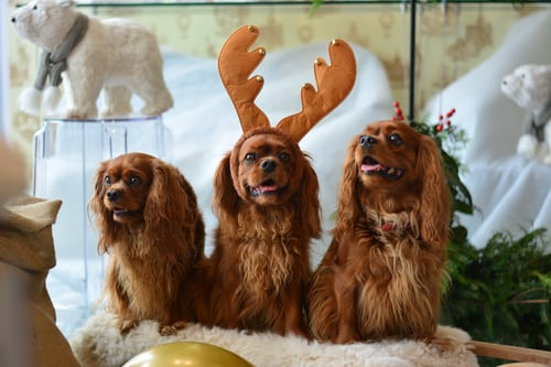 The Cavalier King Charles Spaniel dog Colors & Price