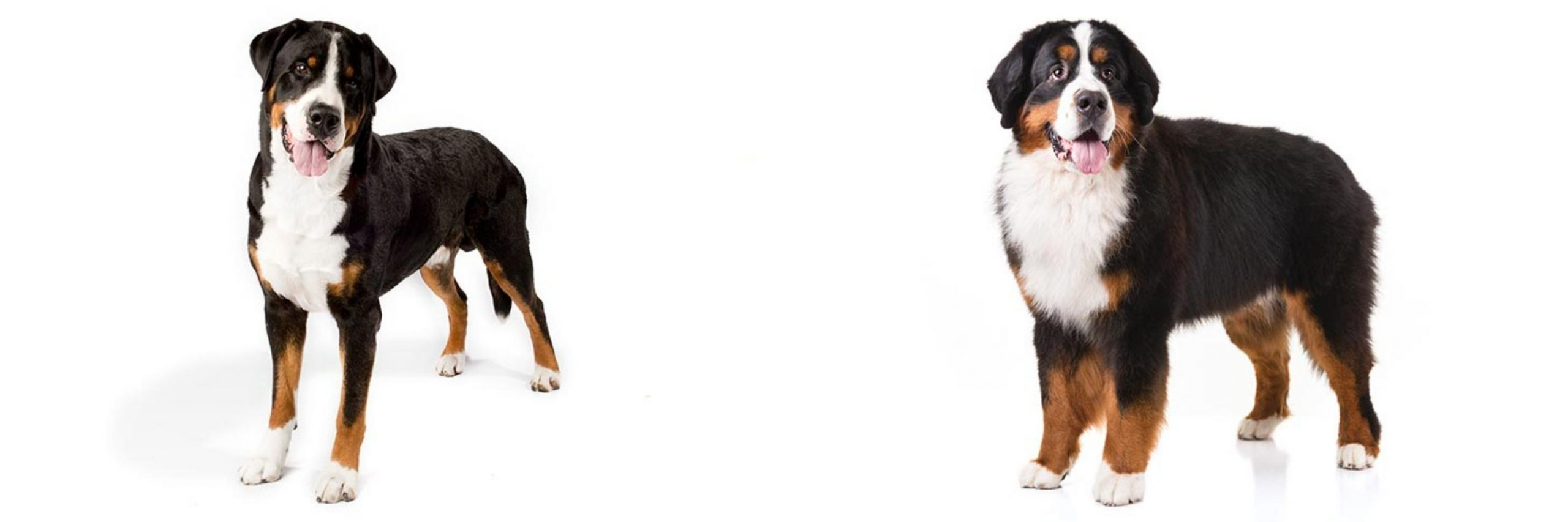 Greater Swiss Mountain dog History, Facts & Care Tips