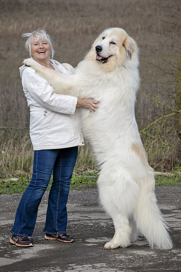 Great Pyrenees dog breed Profile & Facts!