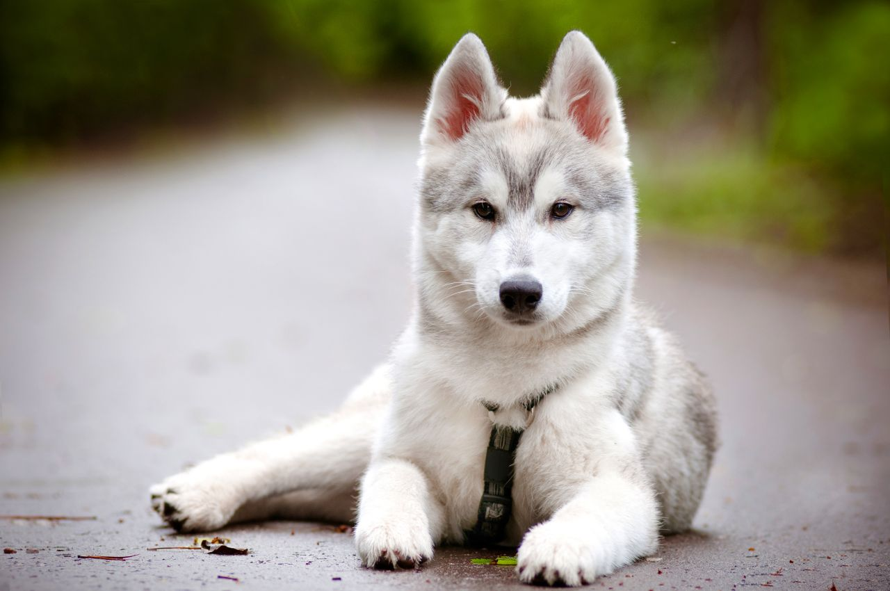 10 Dogs that look like wolves