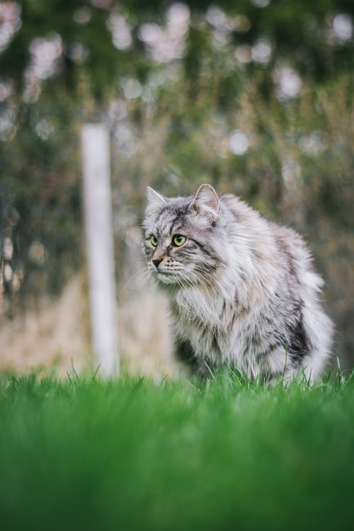 Siberian Cat Facts, Colors & Care Suggestions!