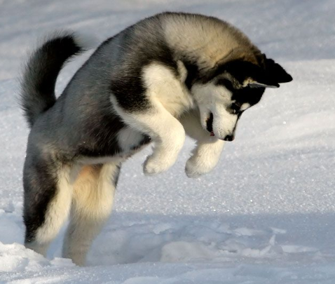 Pomeranian Husky or Mix Dog Facts You should know