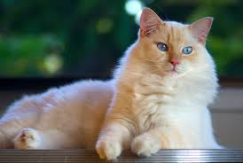 """Ragdoll Cat Breed"" Price, Lifespan & Colors"