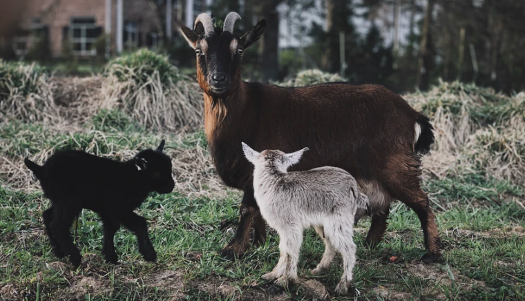 """Pygmy Goat"" Facts, Price & Care"