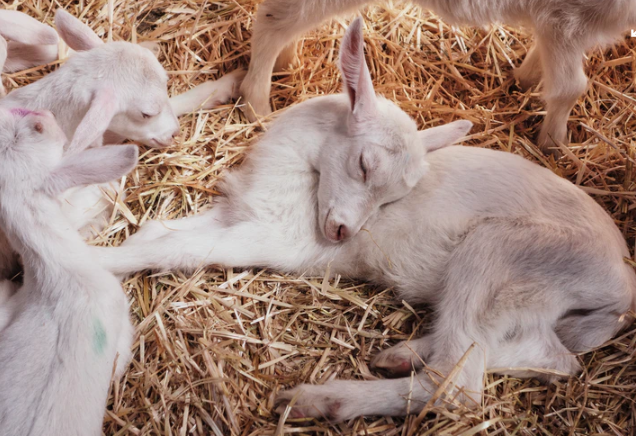 """""""Pygmy Goat"""" Facts, Price & Care"""