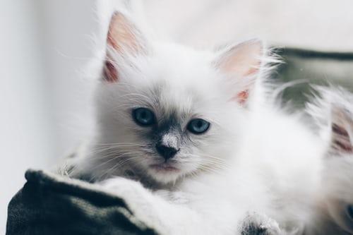 """Ragdoll Cat Breed"" Price, Lifespan & Colors"