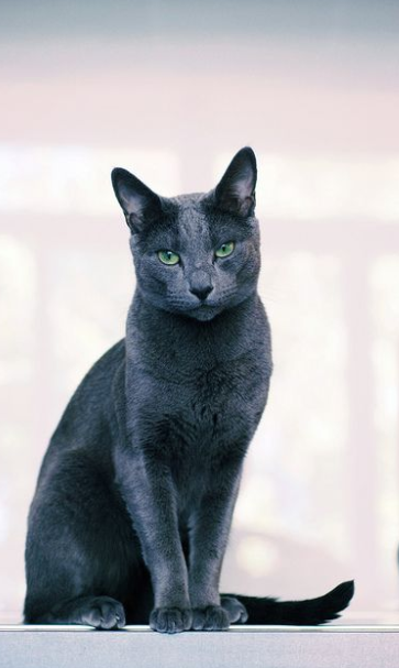 """Russian Blue Cat Price"" adoption guide & Diet"