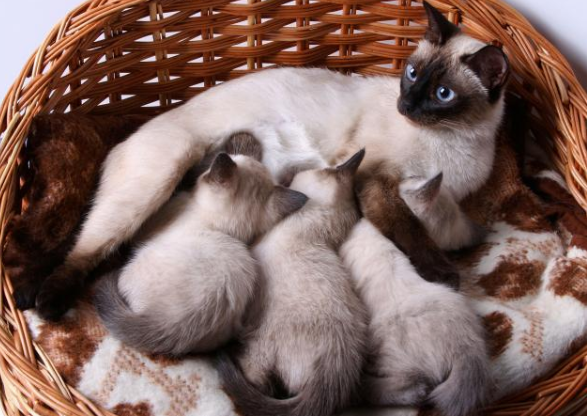 """Siamese Kitten"" for sale around me! Adoption Guidelines"