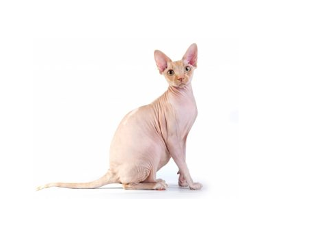 """""""Sphynx Cat"""" Price & Adopting! You should know"""