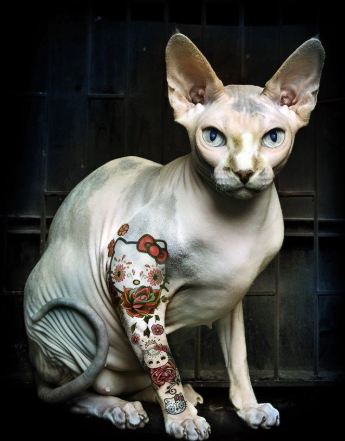 """Sphynx Cat"" Price & Adopting! You should know"