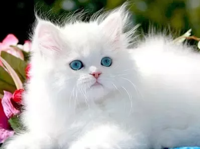 Persian cat Facts, Price & Care Tips! You should know