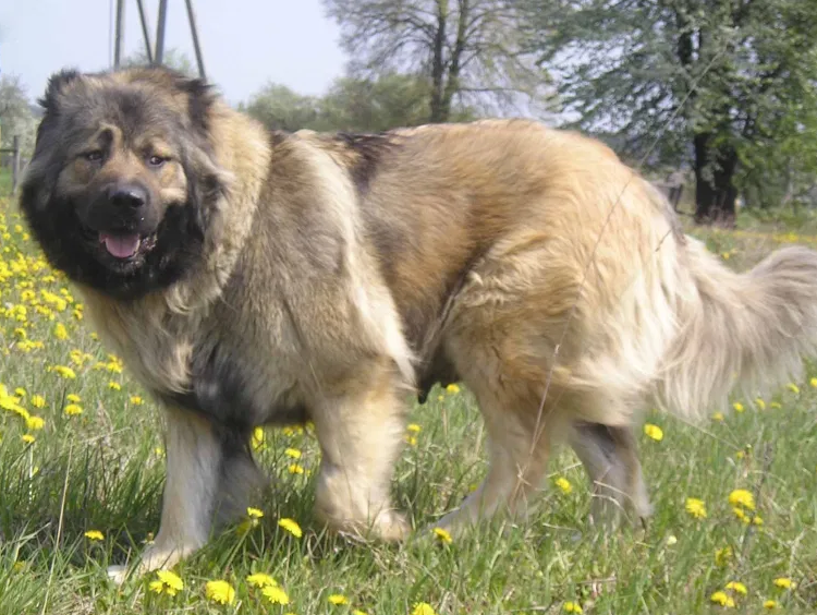 Caucasian Shepherd dog Puppies Price & Facts