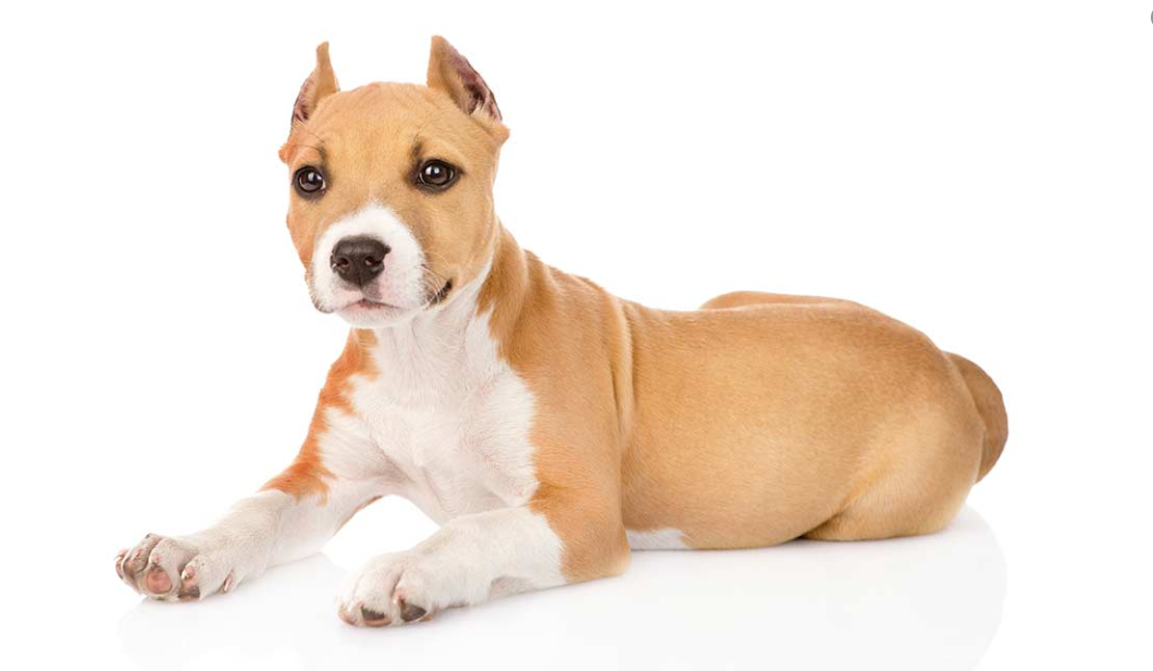 Dog Ear Cropping & Tail Docking Side Effects