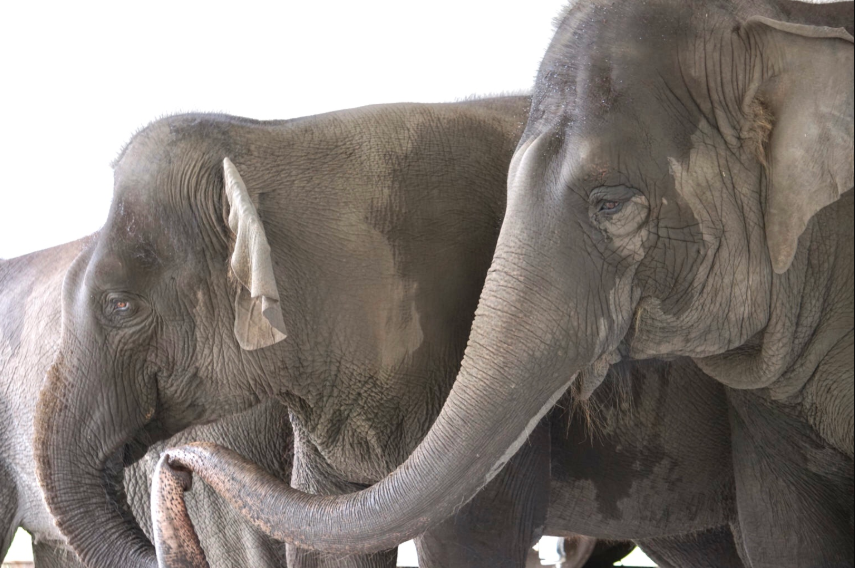 Breaking News! 30 Retired Circus Elephants To Be Released Into White Oak Conservation's New 2,500-Acre Habitat Within Its Florida Sanctuary