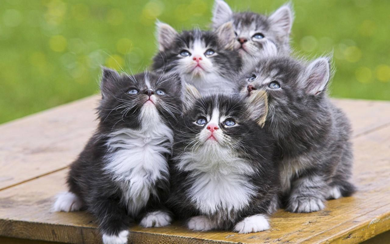 """Norwegian Forest Cat Adoption""& Facts