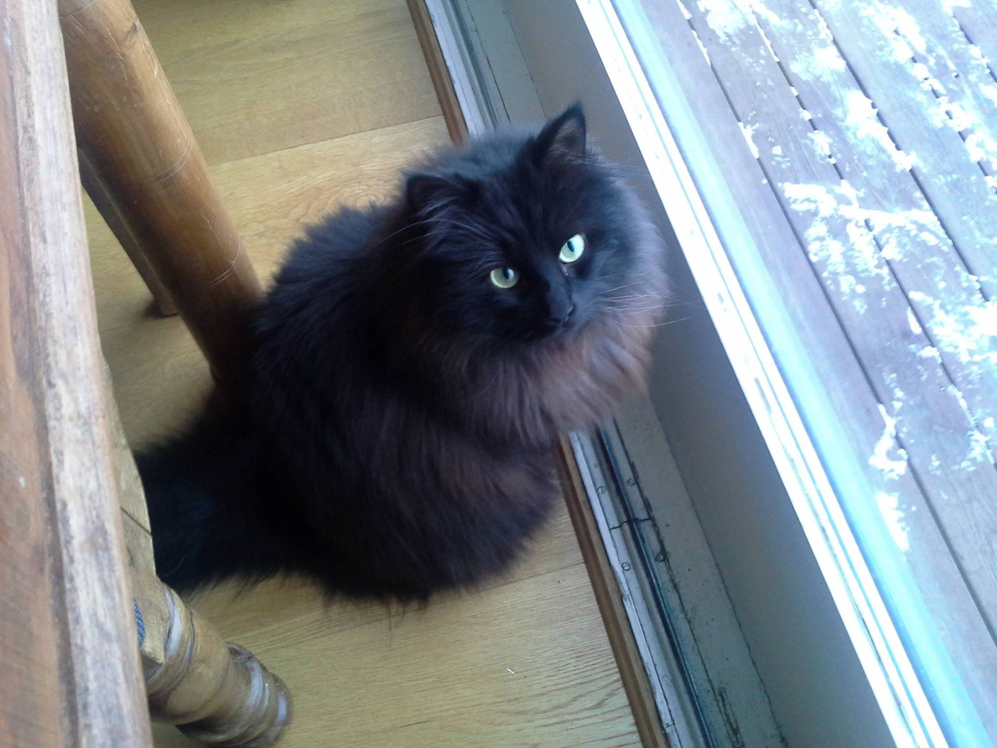 """""""Norwegian Forest Cat Adoption""""& Facts
