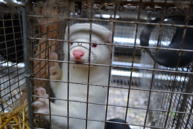 News! Born Free USA Exposes Dire Situation Within The Horrific Fur Farming Industry In The USA