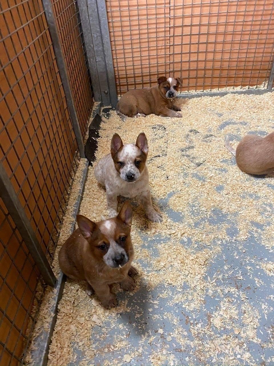 Australian Stumpy Tail Cattle dog Pure breed Puppies