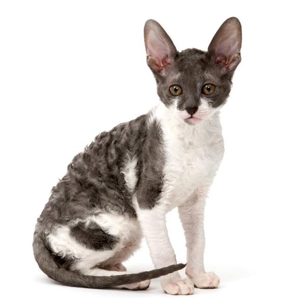 Curly Haired Cat, Like Selkirk Rex, Cornish Rex & Devon Rex