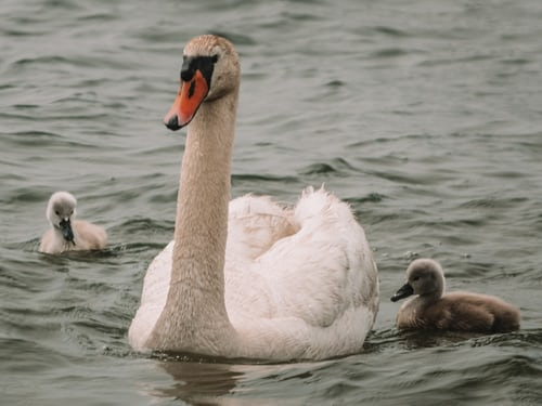 Baby Swan |where are Swan Baby lives?