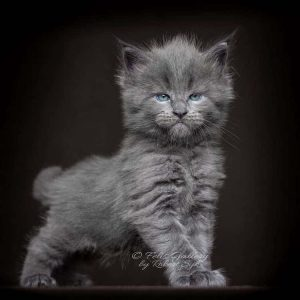 Black Maine Coon Strategies for Beginners   Cat for home