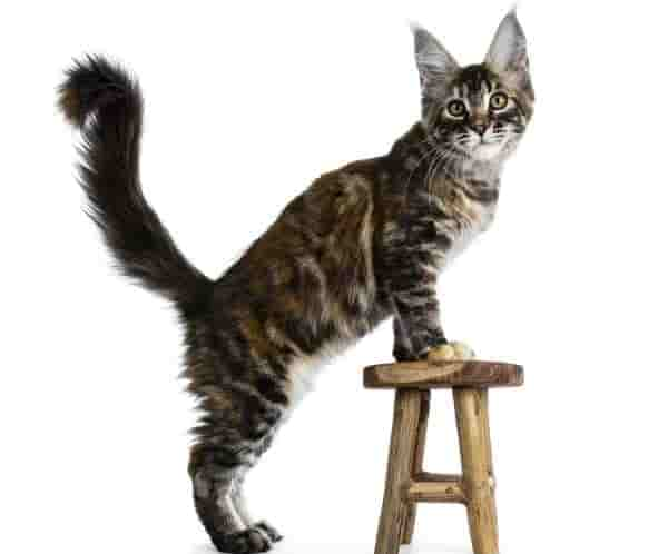 Black Maine Coon Strategies for Beginners | Cat for home